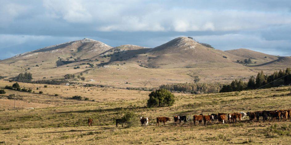 animales pastan en el campo uruguayo, a lo lejos se ven unos cerros